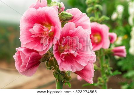 Alcea Rosea Or Hollyhock, Or Malva. A Double Form In Pink. They Are Popular Garden Ornamental Plant.