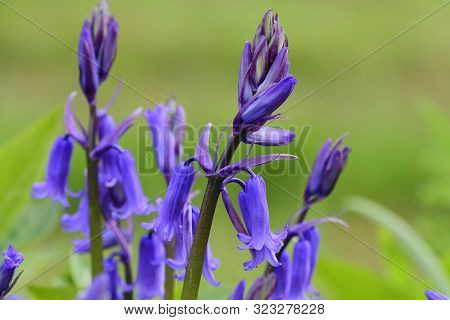 Close Up Of  Bluebell Flowers (hyacinthoides Non-scripta) In Bloom