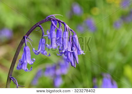 Close Up Of A Single Bluebell Flower (hyacinthoides Non-scripta) In Bloom