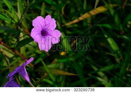 Wild Petunia Or Ruellia Brittoniana In Outdoor