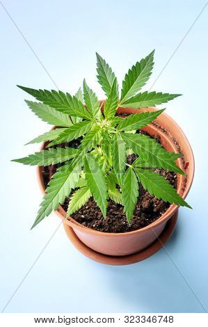 Growing Cannabis At Home. A Young Hemp Plant In A Pot, Starting To Form White Stigmas, The Earliest