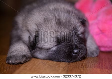 Portrait Of A Three Week Old Keeshond Puppy Lying On The Floor. Behind It Is A Pink Toy. The Puppy I