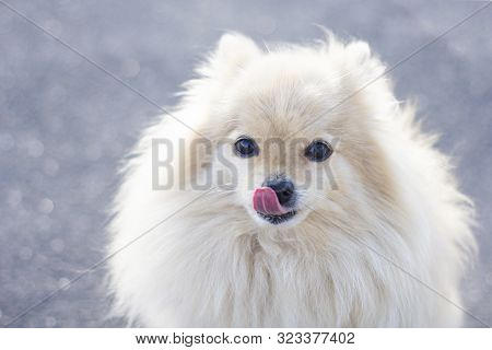 Portrait Of Small Breed Pomeranian Spitz Dog Looking At Camera With Tongue Out. Fluffy Cute Puppy Ou