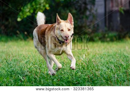 The Energetic Thirteen Year Old  Half-breed Dog Is Walking And Playing. How To Protect Your Dog From
