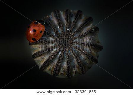 Ladybird Sitting On Green Giant Poppy Seeds Head