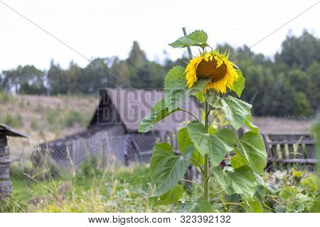 One Sunflower. In The Background Is A House Made Of Wood. Eco Product.