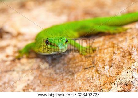 Phelsuma Day Geckos, Phelsuma madagascariensis in natural habitat. Province de Tamatave, Madagascar wildlife and wilderness poster