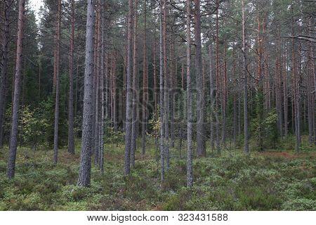 Russia, Karelia, Lake Ladoga, Kojonsaari. Pine Thicket. Forest Thicket, Pine Trees In The Forest. Da