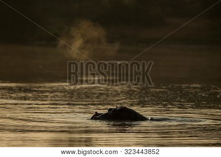 Partly Submerged Hippopotamus (hippopotamus Amphibius), Or Hippo, Its Eyes And Ears Only Above The W
