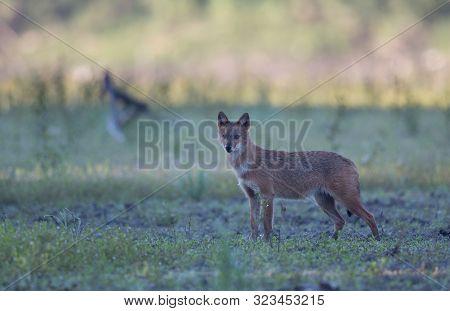 Golden Jackal (canis Aureus) Standing On Meadow And Looking At Camera. Wildlife In Natural Habitat