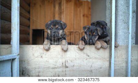Cute Black Puppies Of A German Shepherd. Purebred Thoroughbred Puppies Of A German Shepherd. Adorabl