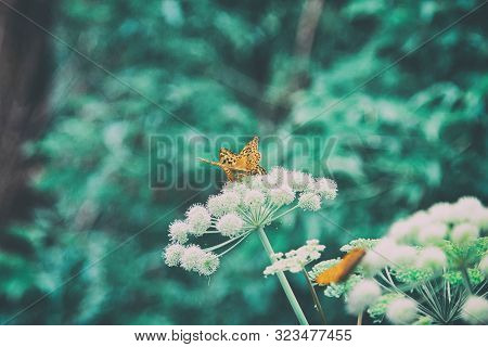 Natural nostalgic background in retro style. Beautiful orange butterflies on umbellate flowers. Nature summer outdoors vintage wallpapers with copy space poster