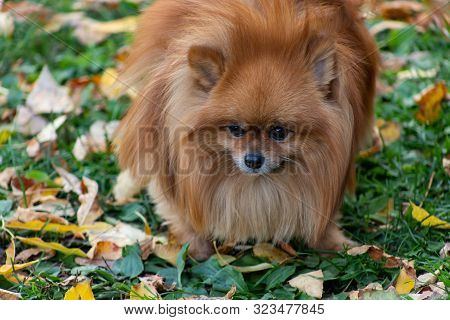 Breeds Of Domestic Dogs. Pomeranian Spitz