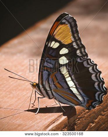 An Arizona Sister Butterfly On A Wooden Railing, Adelpha Eulalia, Seen In Ramsey Canyon, Huachuca Mo