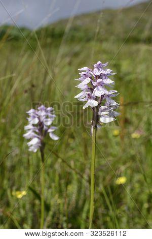 Heath Spotted Orchids - Dactylorhiza Maculata Ericetorum  On Scottish Hillside