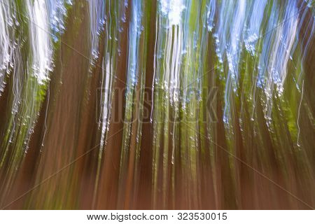 Abstract Background Image Of Tall Trees In Whakarewarewa Redwood Forest In Rotorua.