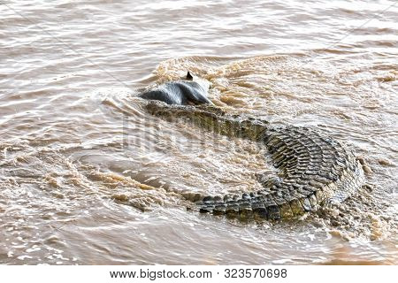 A huge nile crocodile,  Crocodylus niloticus, takes a wildebeest from the herd crossing the Mara River during the annual Great Migration.