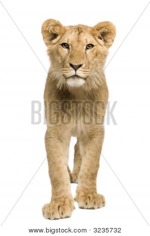 Lion Cub (9 Months)