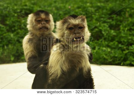 Cebus Capucinus Showing Its Teeth, The Colombian White-faced Capuchin, Mother And Youngster