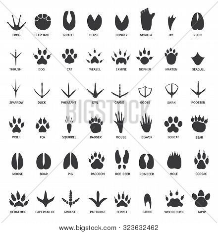 Animals Footprints. Animal Paws Prints. Elephant And Gorilla, Bison And Wolf. Cat, Dog And Deer, Bea