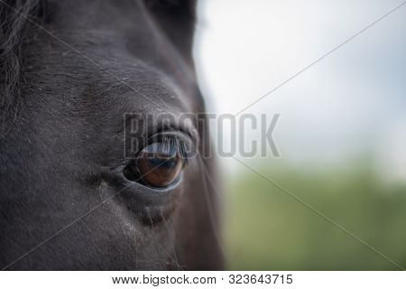 Left brown eye with eyelashes and short hair around of black mare or racehorse in natural environment
