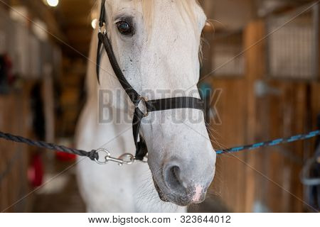 Muzzle of young white purebred mare or racehorse with bridles in front of camera standing inside stable