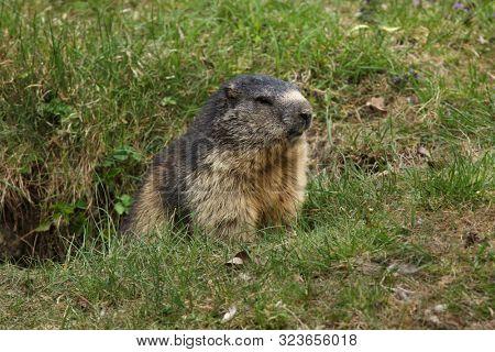 Alpine marmot (Marmota marmota). Wildlife animal.
