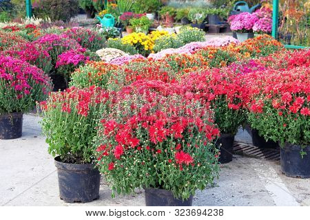 Garden Shop With Flowers. Bushes With Purple And Red Hrysanthemums In Pots In Garden Store. Nursery