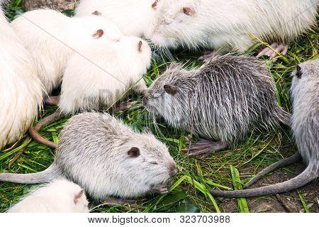 Many Muskrats Eating Grass. Wildlife Of Animals.