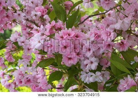 Cherry Blossom, Sakura. A Metaphor Of The Ephemeral Nature Of Life. Photo For Interior And Backgroun