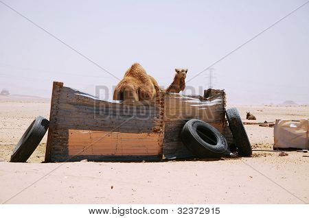 camels in a Bedouin tent