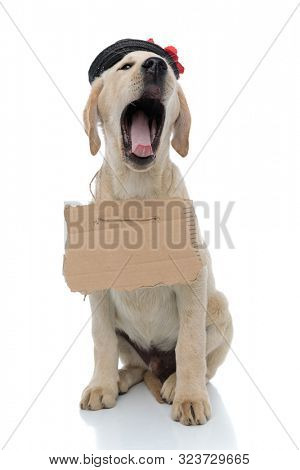 tired little vagabond labrador retriever puppy yawning on white background