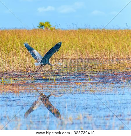 Great Blue Heron (ardea Herodias) In Flight. Everglades National Park. Florida. Usa