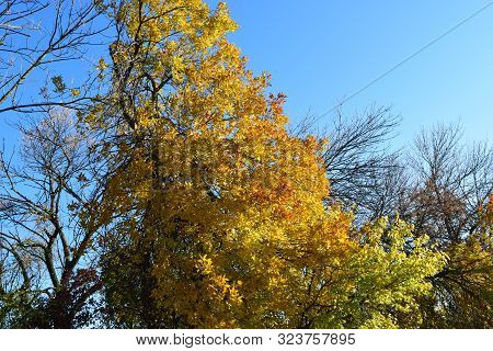 Fraxinus Excelsior With The Turned Yellow Leaves. Autumn Landscape.