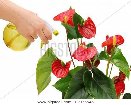 Irrigation Anthurium