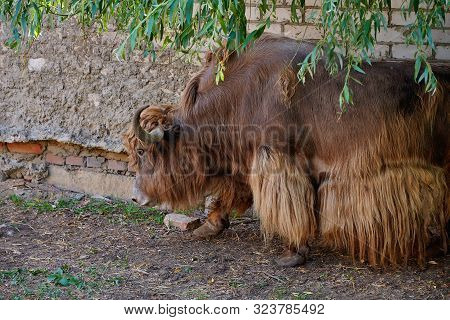 A Large Brown Yak Walks Along A Brick Wall. Wild Animal In The Farm. Portrait Of A Yak Close-up.