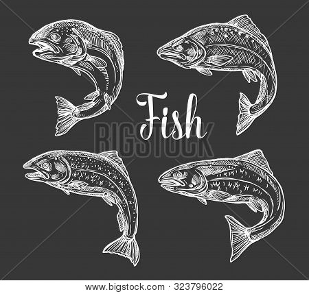 Trout And Salmon Fish Monochrome Sketches On Chalkboard. Vector Freshwater And Saltwater Fish, Symbo