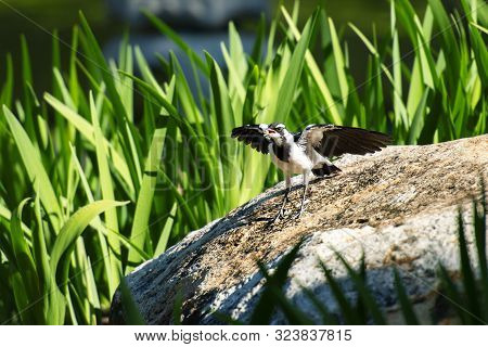 Magpie Lark Also Known As A Pee Wee
