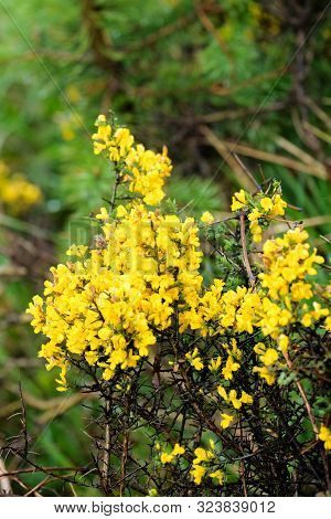 Close Up Of A Blooming Yellow Gorse Plant