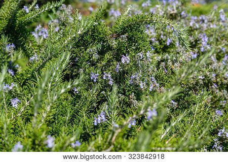Rosemary Bush With Blue Flowers Close-up Selective Focus