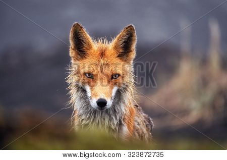 Fox In The Wild Close Up. Red Fox On The Kamchatka Peninsula, Russia