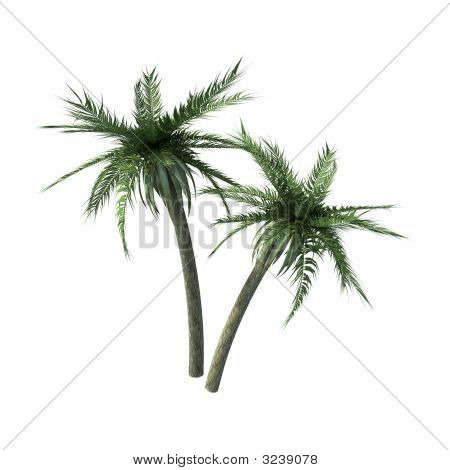 Two Palms Tree