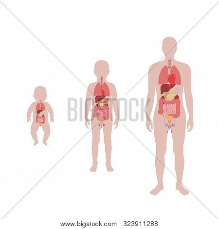 Vector Isolated Illustration Of Child Internal Organs In Baby, Boy And Adult Man Body. Stomach, Live