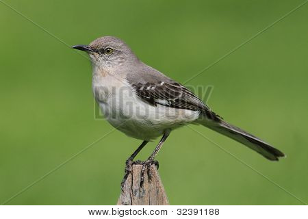 Mockingbird On A Fence