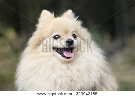 Close Up Portrait Of A Happy Cheerful Spitz Dog Outdoor In A Park. Cute Fluffy German Puppy Is Smili