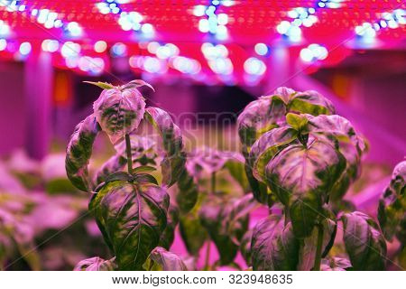 Special Led Lights Belts Above Basil Herb In Aquaponics System Combining Fish Aquaculture With Hydro