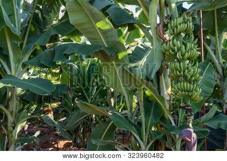 Banana Garden, Banana Plantation, Leaves Of A Banana Tree Close Up. Exotic Tropical Banana Palm Tree