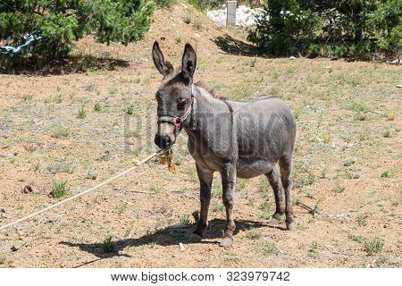 Donkey Portrait At A Sunny Day In Mexico. Young Donkey Portrait