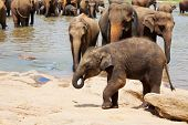 Elephants  on Sri Lanka poster