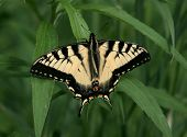 a nice bright yellow swallowtail butterfly at rest on grass poster
